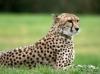Shamu TV's Saving  A Species:  Cheetahs