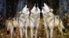 Shamu TV's  Saving A Species:  Wolves