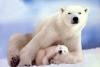 Shamu TV's Saving A Species:  Polar Bears