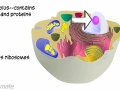 Anatomy and Physiology: Cell Organelles