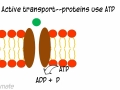 Cell Transport (Diffusion, Osmosis, Active Transport)