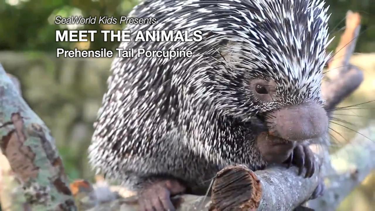SeaWorld Kids—Meet the Animals—Prehensile Tail Porcupine