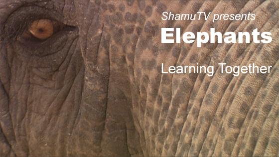 ShamuTV: Elephants - Learning Together