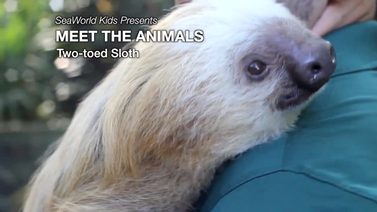 SeaWorld Kids—Meet the Animals—Two-toed Sloth
