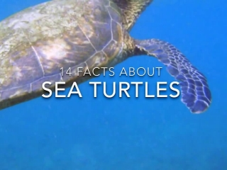 14 Amazing Facts about Sea Turtles