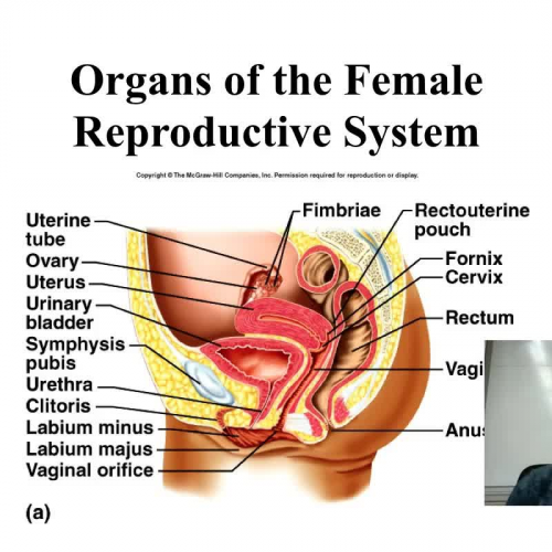 Introduction to the Female Reproductive System