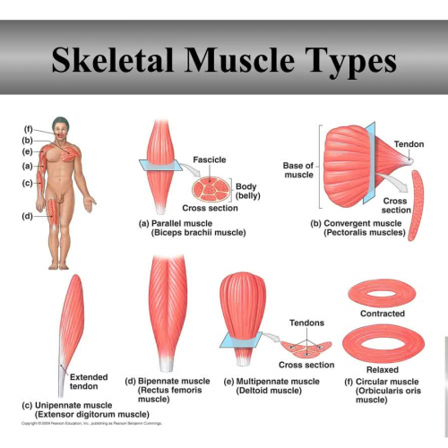 Skeletal Muscle types and naming skeletal muscels