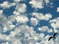 Gill.flying bird