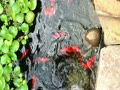 30 seconds of Koi Fish eating (and a few pond comets)