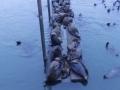 Seals from Astoria Oregon, Aug 2015