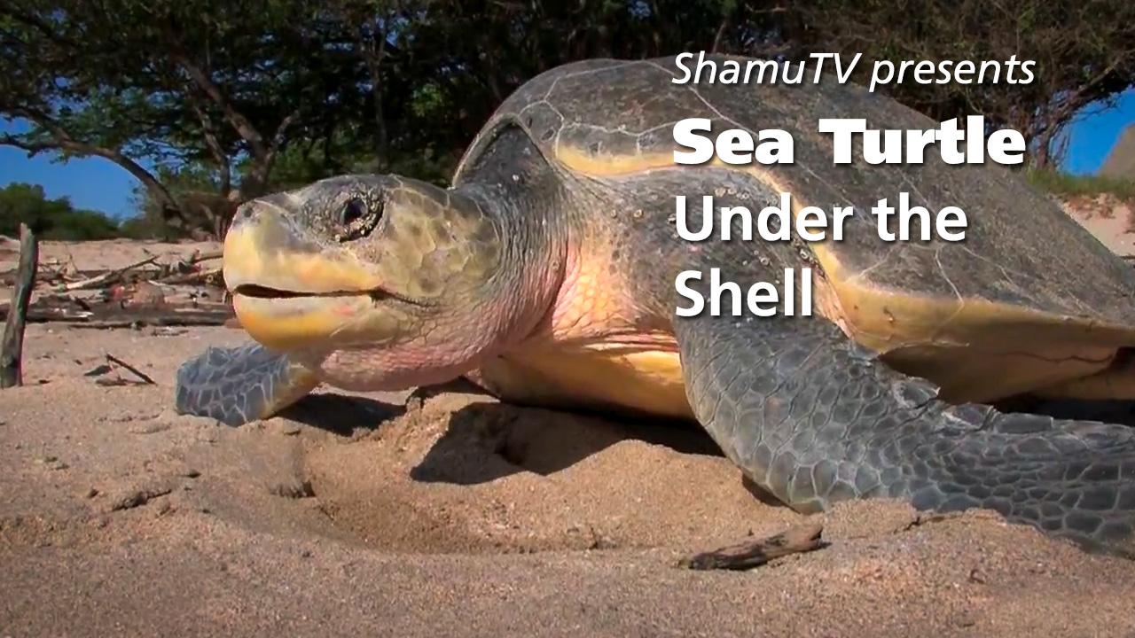 ShamuTV: Sea Turtle-Under the Shell