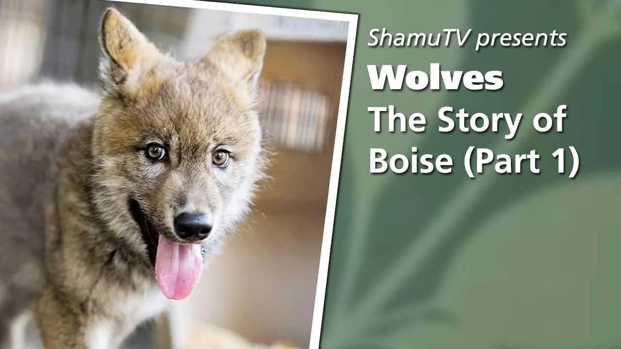 Shamu TV:  Wolves - The Story of Boise, Part One