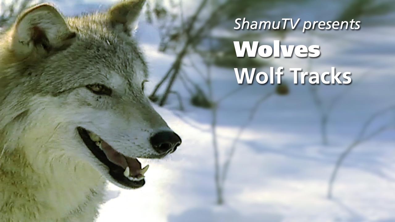 Shamu TV: Wolves - Wolf Tracks