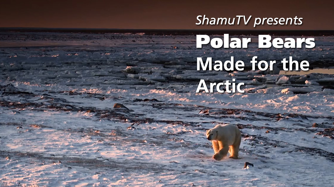 Shamu TV:  Polar Bears Made for the Arctic