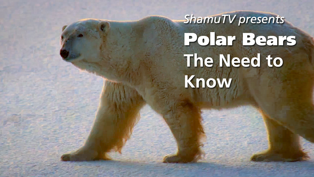 Shamu TV - Polar Bears - The Need to Know