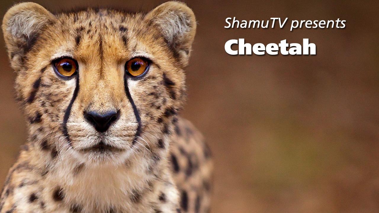 Sas Cheetah Full Show-1