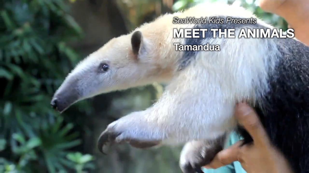 SeaWorld Kids—Meet the Animals—Tamandua