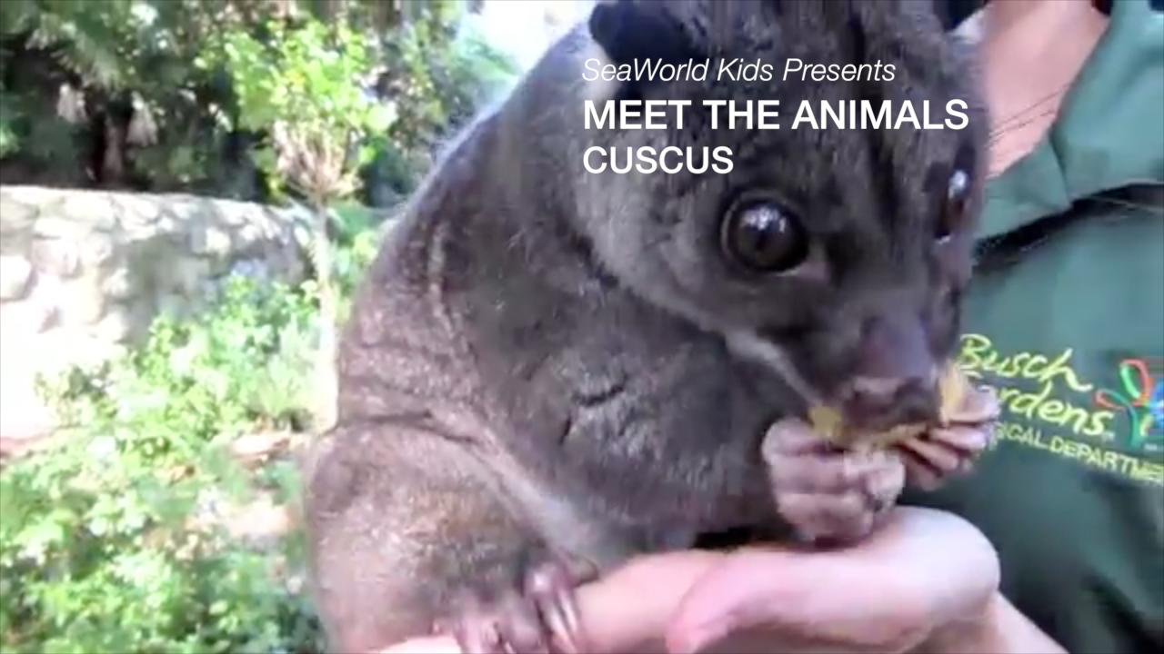 SeaWorld Kids - Meet the Animals - Ground Cuscus