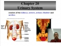 Urinary system overview and kidney structure and function