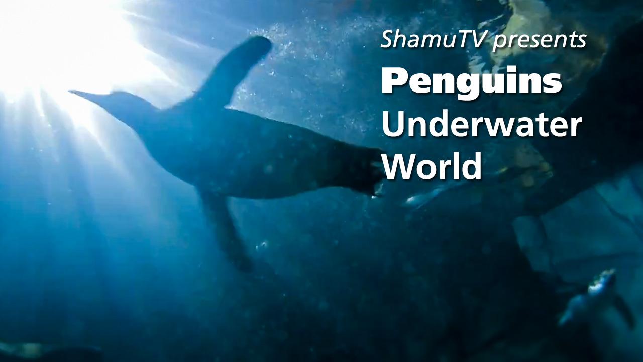 ShamuTV: Penguins – Underwater World