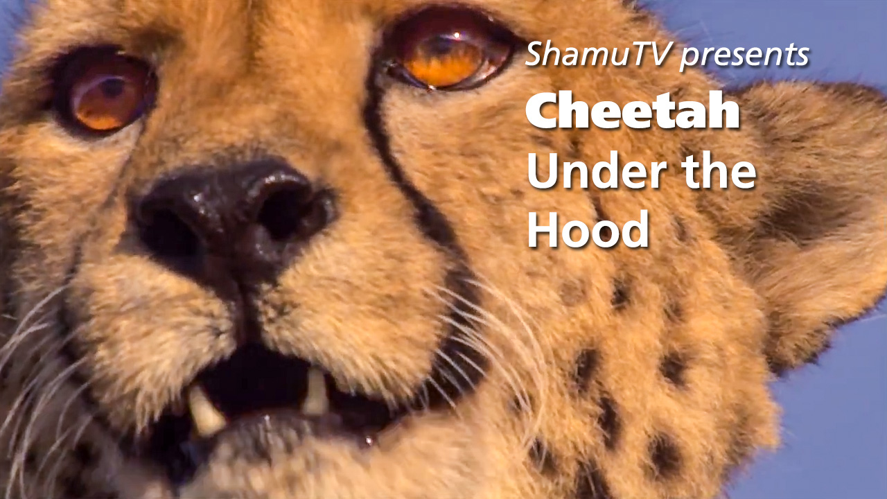 Shamu TV - Cheetah - Under the Hood