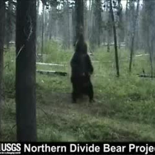 Dancing bear hub-9221