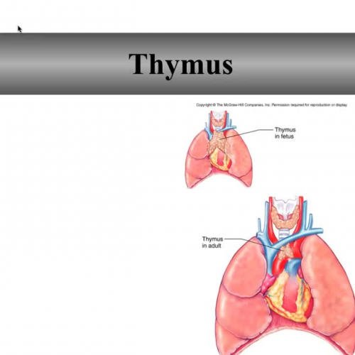 Thymus and Spleen